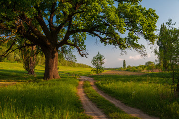 Summer landscape, giant oak and country road sunny day