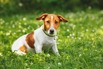 Puppy jack russell terrier for a walk in the park.