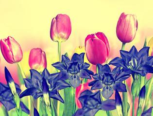 pink yellow tulips and blue irises