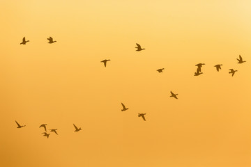 Flock of Geese at sunset on the sky