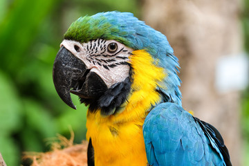 Head shot of beautiful Blue and Gold Macaw bird - Soft focus
