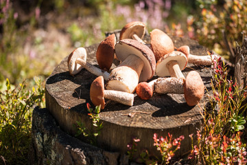 Mushrooms on the stump