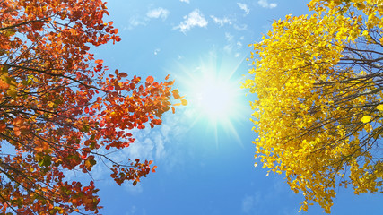 Bright yellow and red branches of autumn tree on sunny blue sky