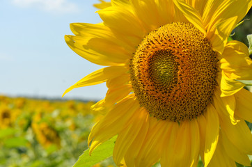 Sunflower closeup on a field background