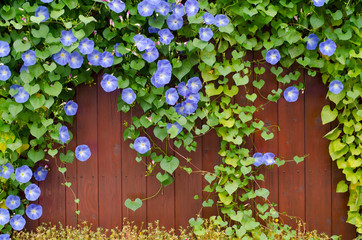 Green leaves and blue flowers on wooden fence