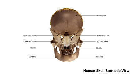 Skull Scattered Back view