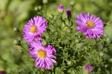 Asters - tiny autumn pink flowers