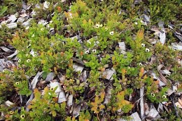 Flowers in tundra above Arctic Circle, Russia