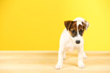 Jack Russell terrier on yellow background