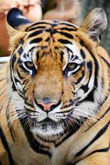 Foto op Canvas Tijger Tiger face.
