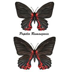 black Papilio Rumanzovia.