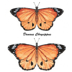 orange Danaus Chrysippus