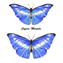 blue Cypris Morpho.