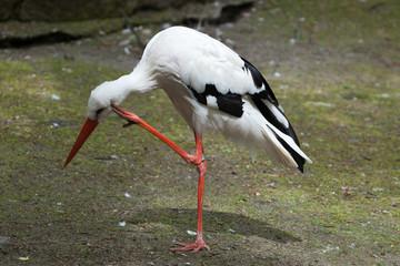 White stork (Ciconia ciconia).