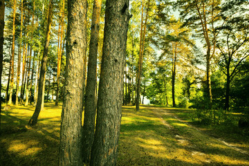 pine forest in the Park