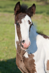 Portrait of nice foal - irish cob