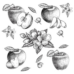Set of hand drawn apple. Vintage sketch style illustration. Organic eco food. Whole , sliced pieces half,leaves and flowers leave . Fruit engraved  .