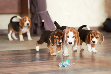 Beagle puppy at home