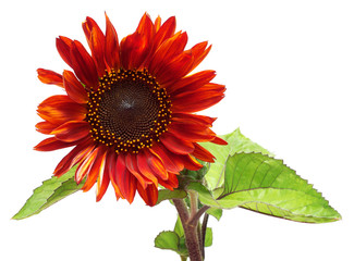 Red flower sunflower isolated on a white background