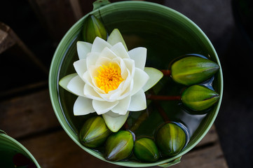 beautiful waterlily or lotus flower is complimented by the rich