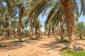 Plantation of date palms. Date palms have an important place in advanced desert agriculture in the Middle East
