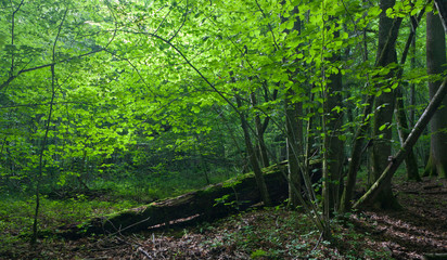 Fototapete - Sun entering rich deciduous forest