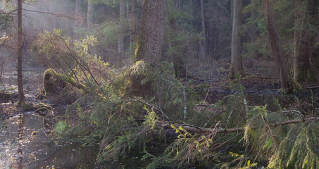 Fototapete - Riparian stand in morning with broken spruce