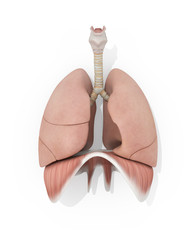 Human anatomy lungs medical illustration on white background. 3d illustration.