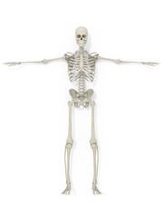 Human anatomy skeleton medical illustration on white background. 3d illustration.