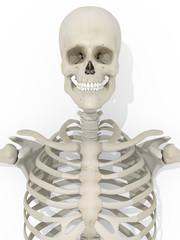 Autocollant pour porte Doux monstres Human anatomy skeleton medical illustration on white background. 3d illustration.