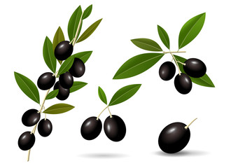 Vector leafy green twigs with healthy ripe black olives isolated on white background