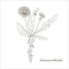 Botanical drawing of a dandelion