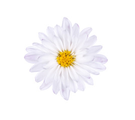 White blue flower with a yellow core on a white background