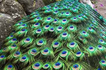 Peacock showing its tail