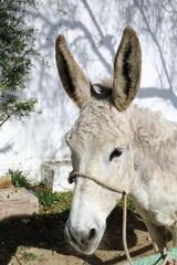 White donkey close up