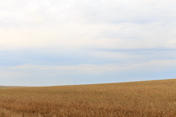 Wall Murals Night blue field hilly landscape of wheat overcast sky summer