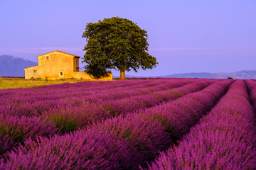 Papiers peints Grenat Lavender field at sunset in Provence, France