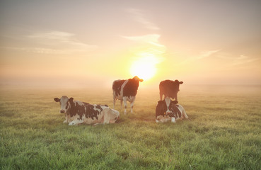 Wall Mural - few cows relaxed on pasture