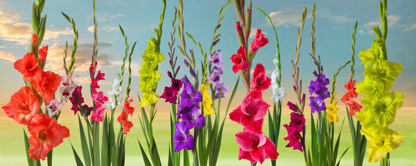 green meadow with gladiola