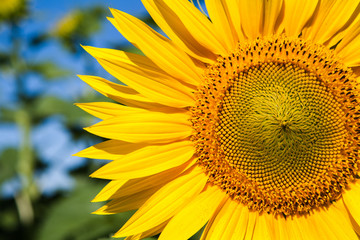 Sunflower at blue sky background