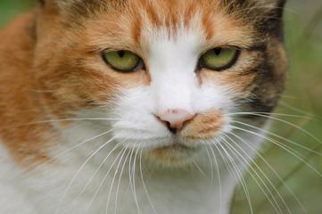睨む猫のクローズアップ
