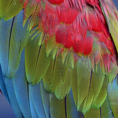 Tri-colors of Green-winged macaw feathers, the colorful bird's t