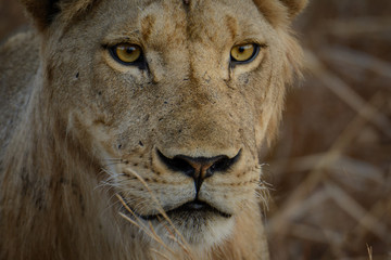 Lion, lioness,  (Panthera leo) Portrait. Ruaha National Park. Tanzania