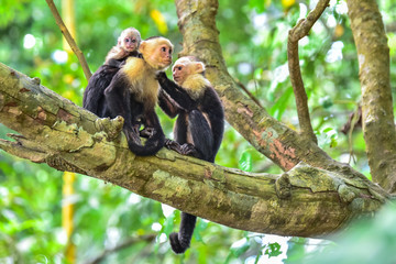 Capuchin Monkey on branch of tree - animals in wilderness