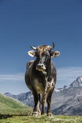Kuh im Gebirge