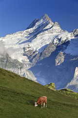 Switzerland, Bernese Oberland, Grindelwald, First, Mt Schreckhorn
