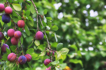 plums on the tree shallow depth of field Summer village