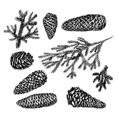 Collection of drawn fir cones