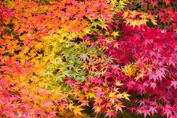 Bunte Ahornblätter im Herbst