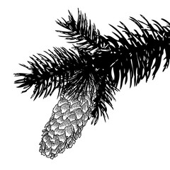 Sketch hand drawing pine cone on tree branch with needles on white background. Christmas hand drawn fir cone. Conifer cone on the tree, cedars, firs, hemlocks, larches, pines or spruces.